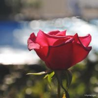 Une Rose Amour I by hyneige