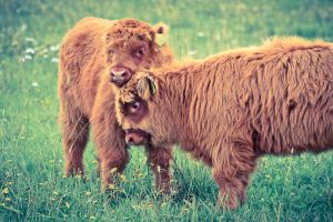 Highland Cattle by markotapio