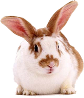 Rabbit 002 PNG by NotStopSmile