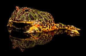 Argentine Horned Frog by mansaards