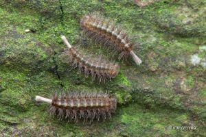 Bristle Millipedes by melvynyeo
