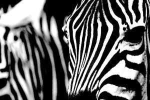 Zebra 00025 - Essence of Zebra by TomFawls