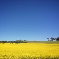 Canola Field - STOCK by patchoulipatch