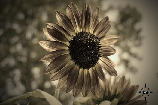 Sun Flower of Many Shades by Neb-Storm