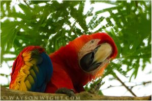 Scarlet Macaw by tourofnature