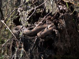 Water Snake Chillin by PaddleGallery