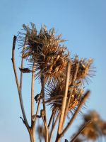 Withered burdock by Lucas246