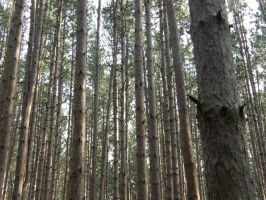 Random Pine Forest 3 by Immortal-angel-stock