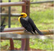 Yellow Headed Blackbird by SuicideBySafetyPin