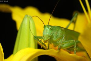 Very green katydid by Dark-Raptor