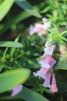 Little Pink Bells by AtomicBrownie