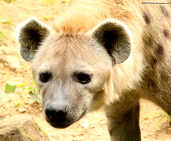 Spotted Hyena 10 by RHCP-Cream