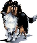 Collie Rough and Ready by HouseofChabrier