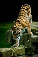 Male Amur Tiger 279-11s by Haywood-Photography