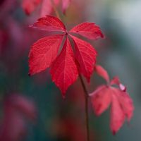 Red leaves by simply-J