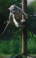 White tiger jumping by AngiWallace