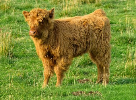 Highland Cow Calf by StephenJohnSmith
