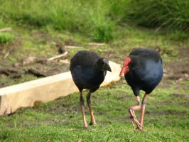 Bird Stock - Pukeko and Chick 2 by Spyderwitch