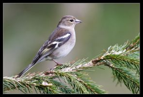 Charmaine the Chaffinch by MessiahKhan