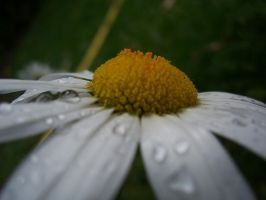 Droplets on a daisy thing. by evanna11