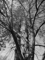 Wild Cherry Tree (Black and White) by SnapShot120