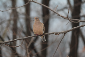 Mourning Dove 6 by Gerryanimator