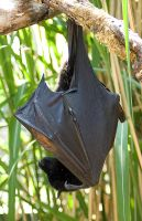 fruit bat 002 -animals035 by akio-stock