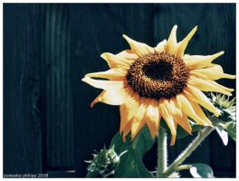 sunflowers day by JohnnyCadillac