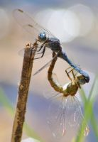 Dassia dragonfly August 2014 8 4 by melrissbrook
