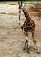 giraffe playing 2 by TlCphotography730