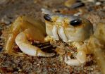 Ghost Crab by gregoryh2os