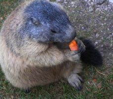 Marmot with carrot by edelweiss26