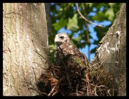 hawk chick 01 by photom17