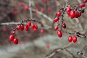 Barberry Winter by star1luver2006