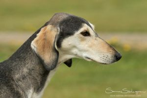 Saluki smooth study by SaNNaS