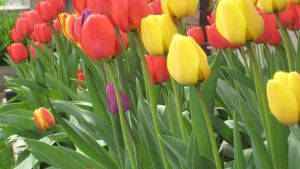 Tulips 01 by willconquers-stock