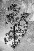 Frosty Pine by Drake-Photography