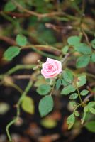 Solitary Rose by Serahe
