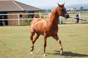 GE Arab chestnut trot front3/4 by Chunga-Stock