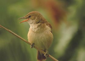 Great reed warbler by A2812