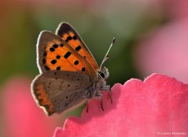 Lycaena phlaeas by LukaszNature