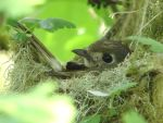 Hutton's Vireo on nest by all4silence