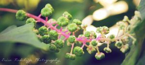Under-Ripened Pokeweed II by ericarad