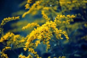 Weeds of Gold by Zinnia-Aster