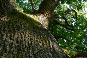 UK - Savernake Oak 04 by Ludo38