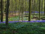 Hallerbos - The Blue Forest - 3 by DarkMysteryCat