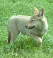 Wolf pup at Longleat by jennasettle