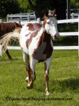 Paint Horse 31 by EquineStockImagery