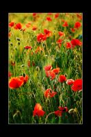 POPPIES FLOWERS by SoFtDudE