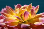 Dahlia 2 by williamdaros